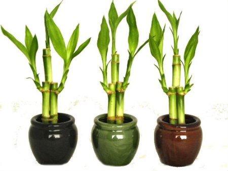 bambu macetas