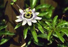 planta pasionaria