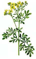 planta ruda